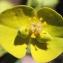 Liliane Roubaudi - Euphorbia biumbellata Poir.