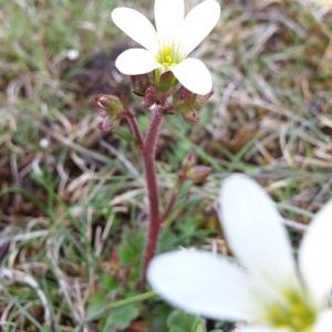 Photographie n°312020 du taxon Saxifraga granulata L.
