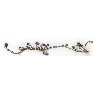 Thymus longicaulis C.Presl