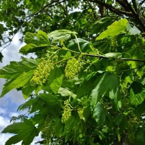 Photographie n°312074 du taxon Acer pseudoplatanus L.