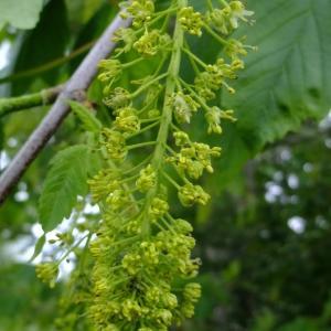 Photographie n°312075 du taxon Acer pseudoplatanus L.