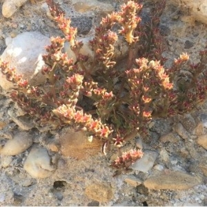 Photographie n°312182 du taxon Sedum sp.