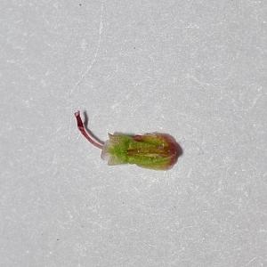 Photographie n°312502 du taxon Rumex acetosa L. [1753]