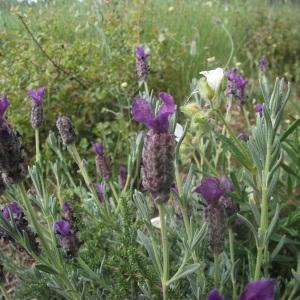 Lavandula stoechas L. subsp. stoechas (Lavande à toupet)