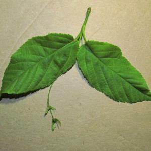 Photographie n°312733 du taxon Acer davidii Franch.