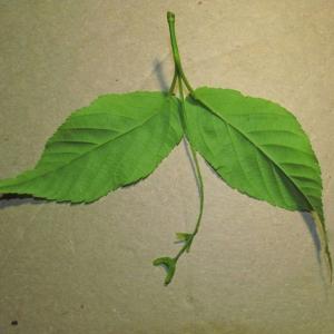 Photographie n°312736 du taxon Acer davidii Franch.