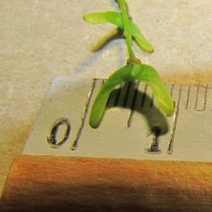 Photographie n°312738 du taxon Acer davidii Franch.