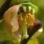 Yoan Martin - Vaccinium myrtillus L.