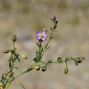 Photographie n°313312 du taxon Spergula rubra (L.) D.Dietr. [1840]
