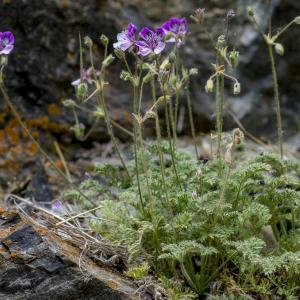 Photographie n°313387 du taxon Erodium glandulosum (Cav.) Willd. [1800]