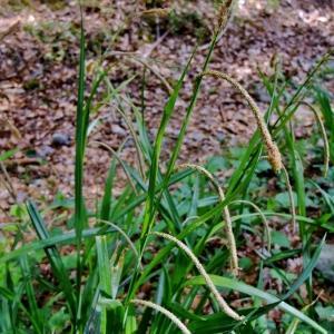 Photographie n°313696 du taxon Carex pendula Huds.