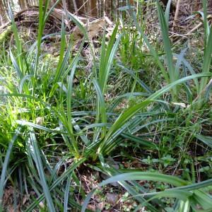 Photographie n°313701 du taxon Carex pendula Huds.