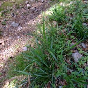Photographie n°313702 du taxon Carex pendula Huds.