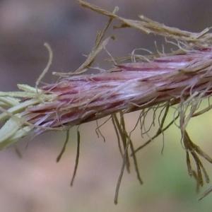 Photographie n°313708 du taxon Carex pendula Huds.