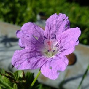 Photographie n°313745 du taxon Geranium sylvaticum L. [1753]