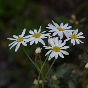 Photographie n°313773 du taxon Tanacetum corymbosum (L.) Sch.Bip. [1844]