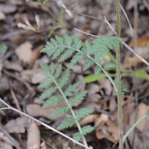 Photographie n°313777 du taxon Tanacetum corymbosum (L.) Sch.Bip. [1844]