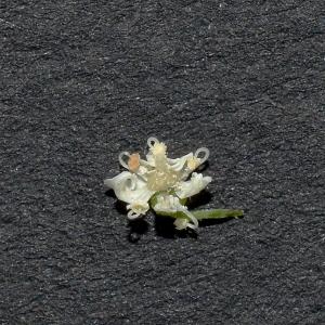 Photographie n°313809 du taxon Conopodium majus (Gouan) Loret