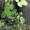 DOMINIQUE Blanc - Rubus L.