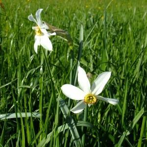Photographie n°314130 du taxon Narcissus poeticus sensu L. [1754]