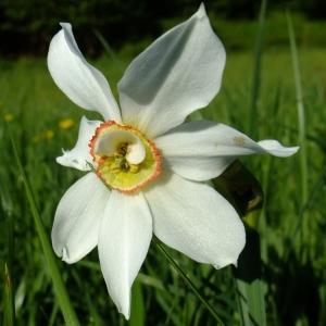Photographie n°314132 du taxon Narcissus poeticus sensu L. [1754]