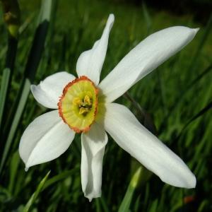 Photographie n°314135 du taxon Narcissus poeticus sensu L. [1754]