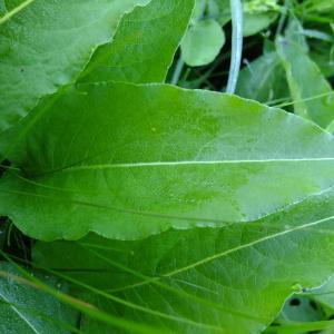 Photographie n°314179 du taxon Polygonum bistorta L.