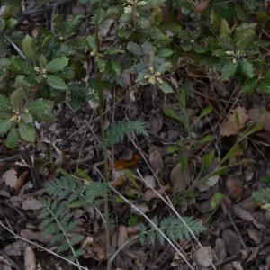 Photographie n°314240 du taxon Tanacetum corymbosum (L.) Sch.Bip. [1844]