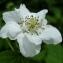 Yoan Martin - Rubus L.