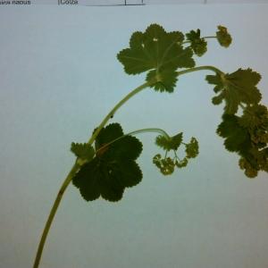 Photographie n°314536 du taxon Alchemilla L. [1753]