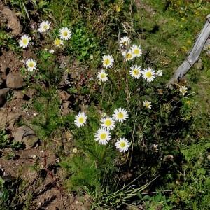 Photographie n°314929 du taxon Tripleurospermum inodorum (L.) Sch.Bip. [1844]
