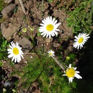 Photographie n°314930 du taxon Tripleurospermum inodorum (L.) Sch.Bip. [1844]