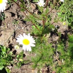 Photographie n°314931 du taxon Tripleurospermum inodorum (L.) Sch.Bip. [1844]