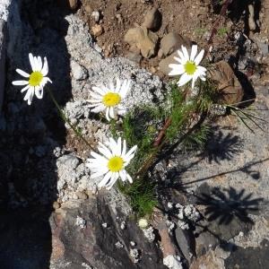 Photographie n°314932 du taxon Tripleurospermum inodorum (L.) Sch.Bip. [1844]