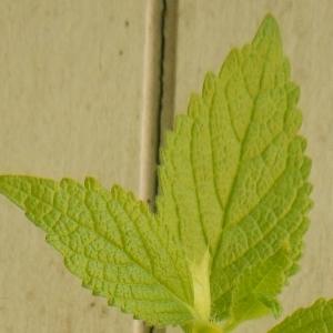 Photographie n°314948 du taxon Melittis melissophyllum L. [1753]