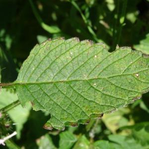 Photographie n°314952 du taxon Galeopsis tetrahit L.