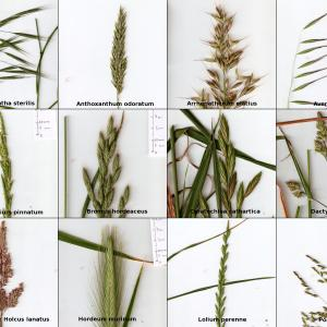 - Poaceae