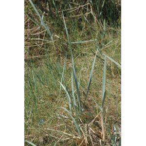 Elymus arenarius var. macrostachyus Andersson (Grand Oyat)