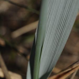 Photographie n°315003 du taxon Leymus arenarius (L.) Hochst. [1848]
