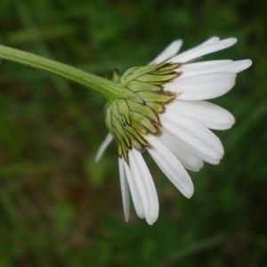Photographie n°315085 du taxon Leucanthemum vulgare Lam. [1779]