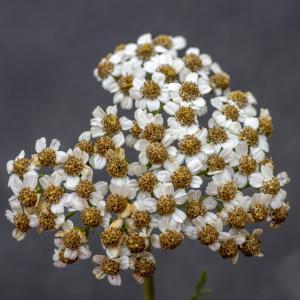 Photographie n°315129 du taxon Achillea chamaemelifolia Pourr. [1788]