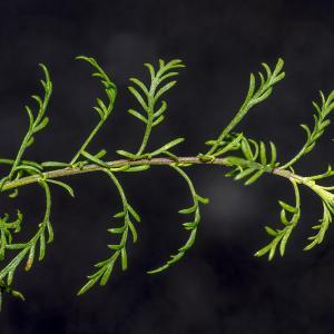 Photographie n°315131 du taxon Achillea chamaemelifolia Pourr. [1788]