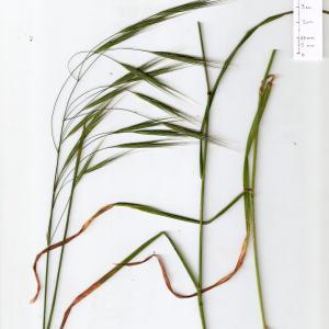 Photographie n°315148 du taxon Anisantha sterilis (L.) Nevski [1934]