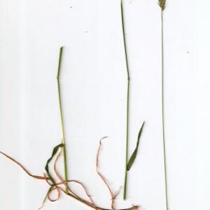 Photographie n°315149 du taxon Anthoxanthum odoratum L.