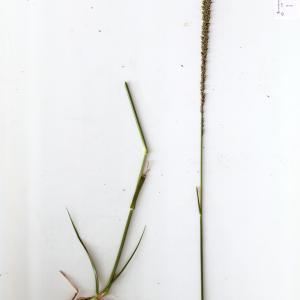 Photographie n°315193 du taxon Sporobolus indicus (L.) R.Br.