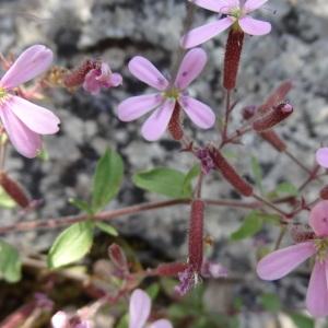 Photographie n°315344 du taxon Saponaria ocymoides L.