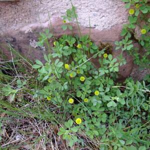 Photographie n°315591 du taxon Trifolium campestre Schreb. [1804]