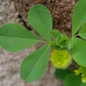 Photographie n°315596 du taxon Trifolium campestre Schreb. [1804]
