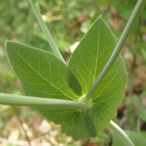 Photographie n°315787 du taxon Helianthemum Hill