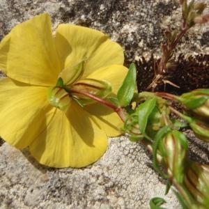 Photographie n°316289 du taxon Helianthemum Hill